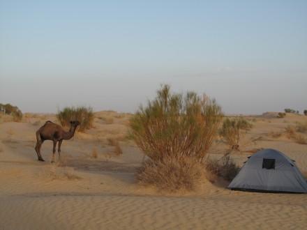 これが僕のテント。 駱駝が近くにいてくれると安心する。