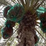 メソポタミア時代から大切な食べ物「デーツ」(ナツメヤシ)